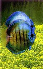 Дискусы в аквариуме с растениями. Фото Т. Амано